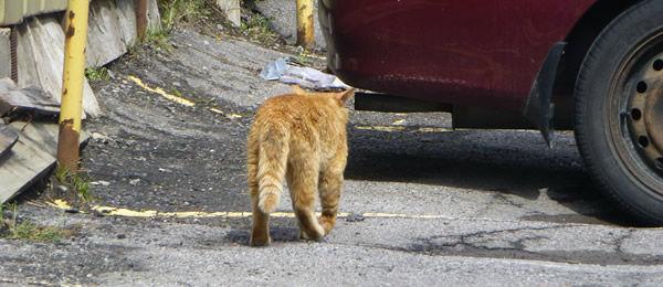 【再掲】 ちょっと前に弁当配達の仕事でとある家に行くと必ず灰色の猫が車の前に  居座って中々どいてくれなかった。