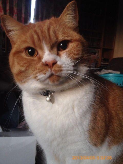 早朝に耳をひっかきながら起こしてくる食欲魔猫