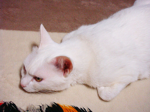 うちのネコ、寝姿が変わってる。