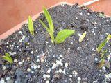 キトピロ芽が生えた。2