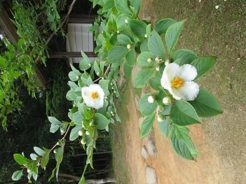沙羅双樹1