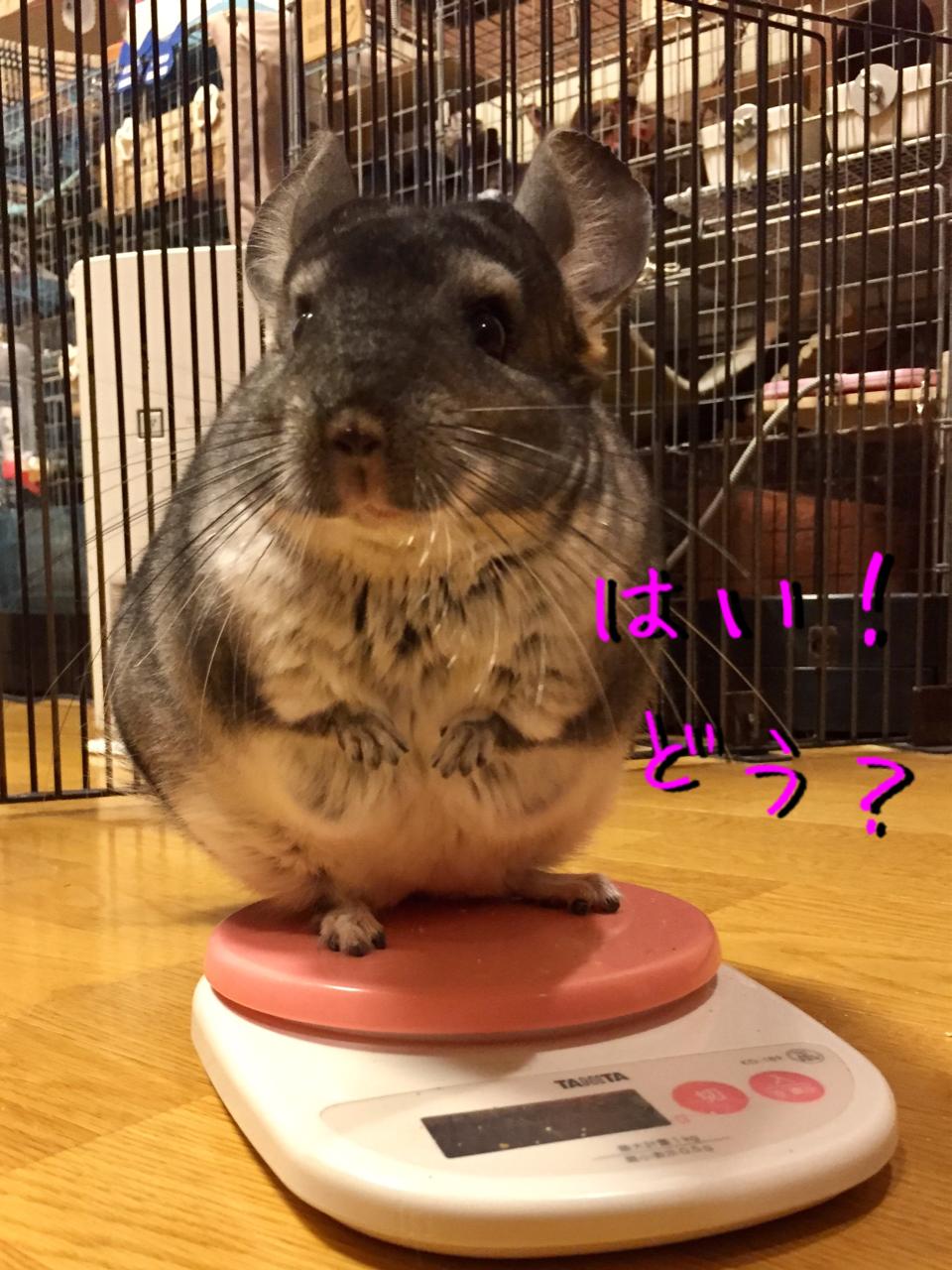 チンチラ 体重