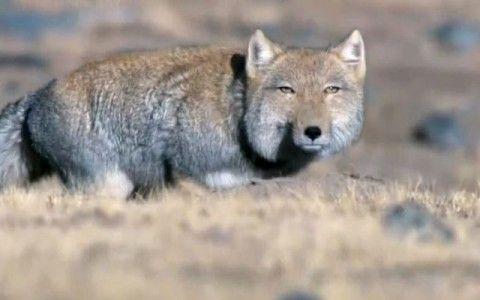 tibetan-fox-piercing-stare04-480x300