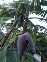 バナナの花です