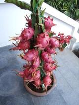 doragon fruits