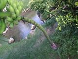 バナナの花です。