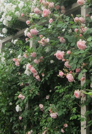 薔薇に囲まれて