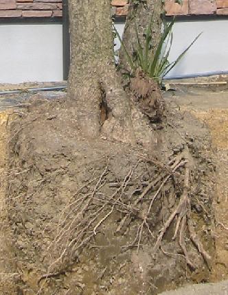ドラセナの根っこ