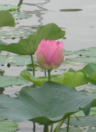 琵琶湖のハス群生地