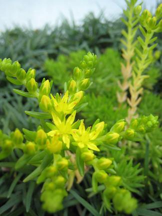 メキシコマンネングサの黄色い花