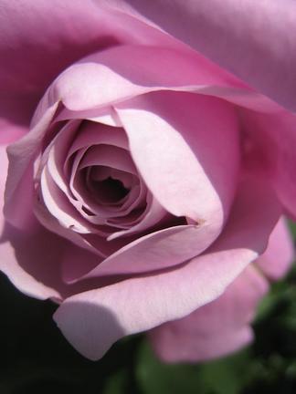 ブルー・バユーの花びら