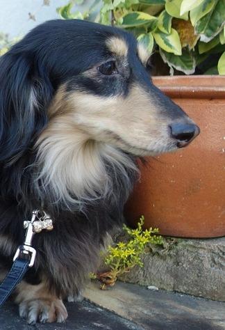 愛犬ダックスフント