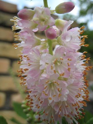 ピンクスパイヤーの花