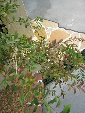 ユキヤナギ赤花