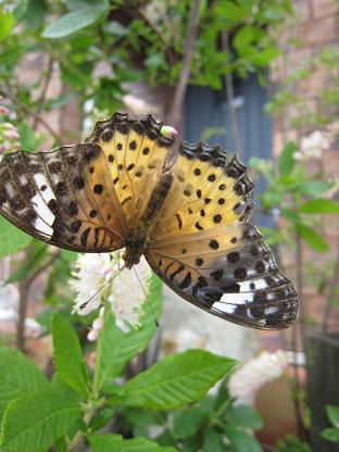 蝶々?蛾?