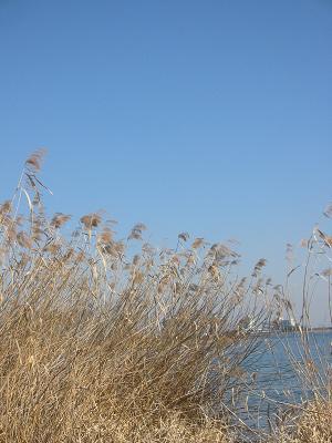 ヨシと琵琶湖