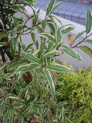 サカキフランクリンの葉