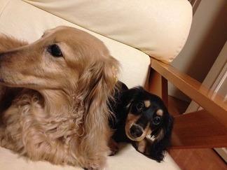 愛犬ピアス