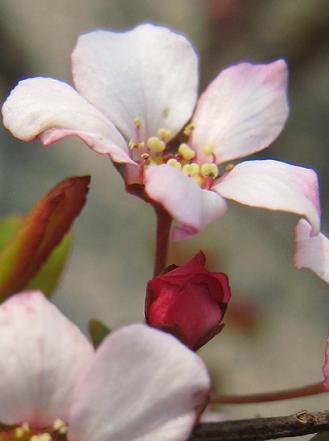 ベニバナユキヤナギの花びら