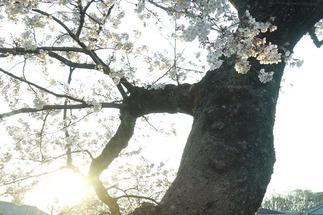 京都鴨川沿いの桜