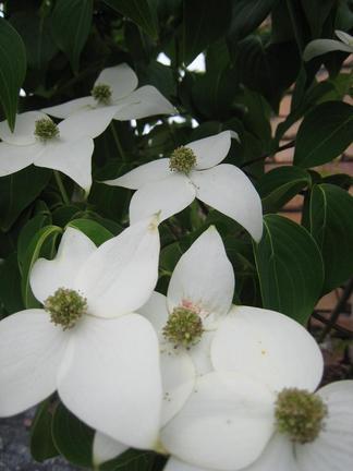 キャピタータの花