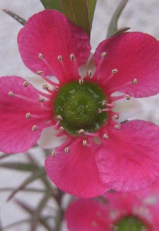 ギョリュウバイの花びら