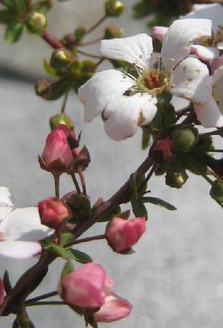 赤花ユキヤナギ