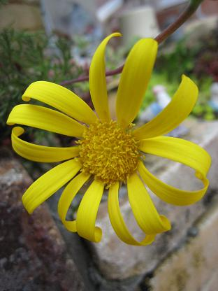 ユリオプスの黄色い花