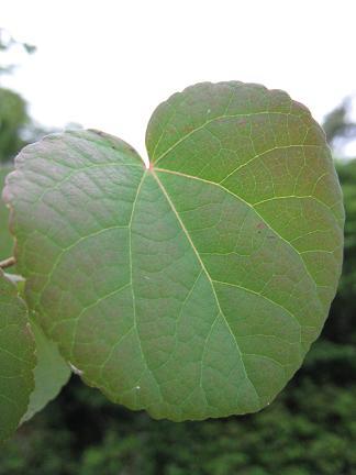 ハート型のカツラの葉