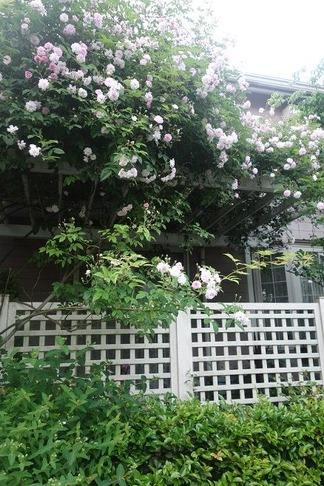 薔薇の花咲くパーゴラ