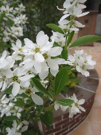 リキュウバイの白い花