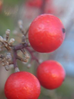 ナンテンの赤い実