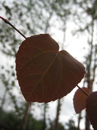 色づいたカツラの葉っぱ