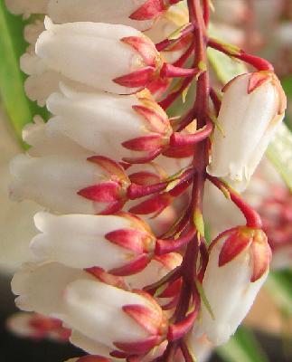 リュウキュウアセビの花