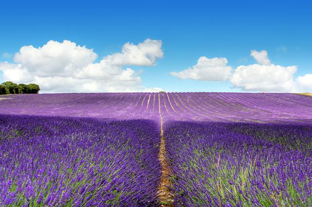 Picture_F_Lavender