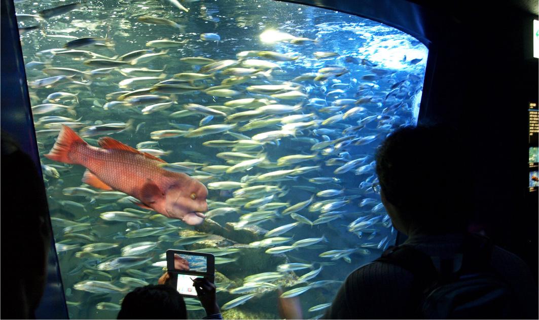 サンシャイン水族館のコブダイ。