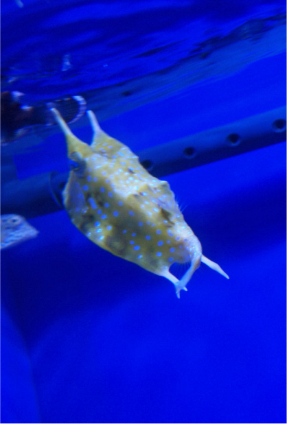 サンシャイン水族館のハコフグ。
