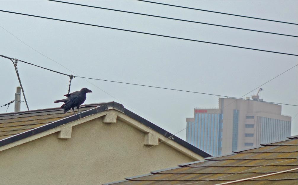 隣家をうろつき、鳴いてうるさいカラス(撮影:中野龍三)。