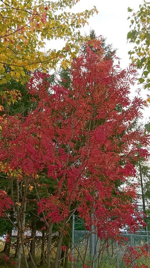 北海道紅葉1
