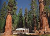 アメリカ:ヨセミテ国立公園の大木