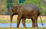 インド象:ウィキペディアより
