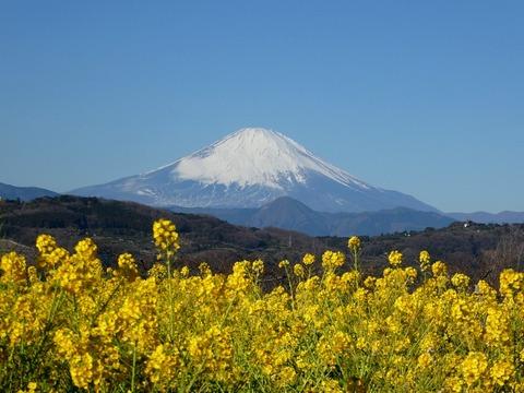二宮・吾妻山の菜の花と富士山2019