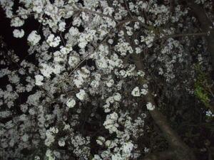 41yozakura1
