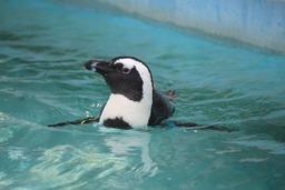 H300719X4s131ケープペンギン