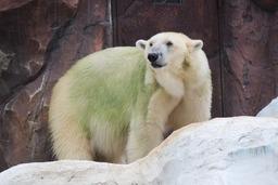 20190906X5s352北極熊.JPG