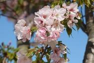 20200403X5s180大山桜.JPG