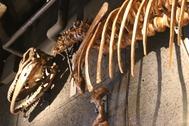 20210810X5s499アロサウルス