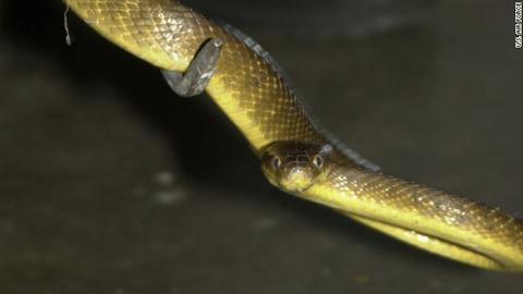 毒を注入したネズミの死体2000匹を空中散布、外来種のヘビを駆除 グアム