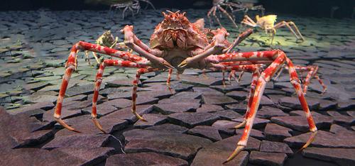 pic-japanese-spider-crab01