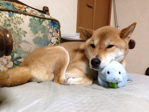 【画像】柴犬可愛すぎ